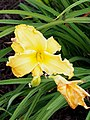 Unknown Daylilies on West Slope S4 - 9293305361.jpg
