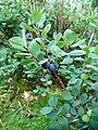 Vaccinium uliginosum (Vosges).jpg