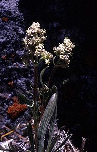 Valerianaedulis