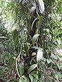 Vanilla planifolia-1-JNTBGRI-palode-kerala-India.jpg