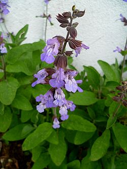 Varennes-Changy - Sauge officinale.jpg