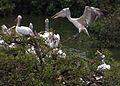 Vedanthangal Stork Breeding.jpg