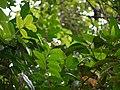 Vellakattumulla (Malayalam- വെള്ളക്കാട്ടുമുല്ല) (7232043964).jpg