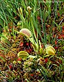 Venus Flytrap Dionaea muscipula (26455092815).jpg