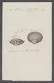 Venus elliptica - - Print - Iconographia Zoologica - Special Collections University of Amsterdam - UBAINV0274 077 12 0018.tif