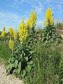 Verbascum speciosum sl26.jpg