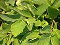 Vernal Witch-hazel Hamamelis vernalis 'New Year's Gold' Leaves 3264px.JPG