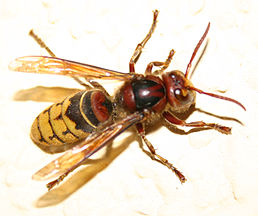 Vespa crabro germana