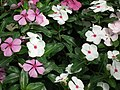 Vinca Rosea from Lalbagh flower show Aug 2013 8017.JPG