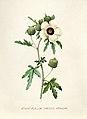 Vintage Flower illustration by Pierre-Joseph Redouté, digitally enhanced by rawpixel 81.jpg