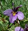 Viola beckwithii 3