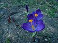 Violette Krokusblüten1.jpg