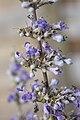 Vitex agnus-castus latifolia A.jpg