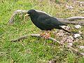 Vogel auf Notkarspitze 1900m 08310007.jpg