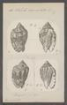 Voluta carneolata - - Print - Iconographia Zoologica - Special Collections University of Amsterdam - UBAINV0274 087 04 0023.tif