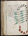 Voynich Manuscript (108).jpg