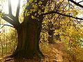 Vranovice - Stromořadí lip malolistých.jpg