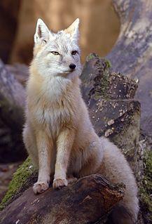 Corsac fox species of mammal