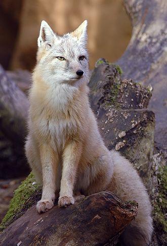 Corsac fox - Image: Vulpes corsac