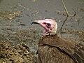 Vulture in Tanzania 3110 Nevit.jpg