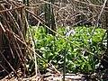 Water hyacinth (32849682940).jpg