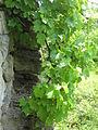 Weinmauer-graefenberg-koenigsberg.jpg