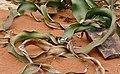 Welwitschia (Welwitschia mirabilis) (32985630745).jpg
