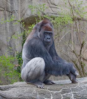 Western lowland gorilla subspecies of mammal