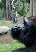 Western lowland gorilla at Bronx Zoo
