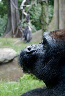 gorila de planície ocidental no jardim zoológico de Bronx
