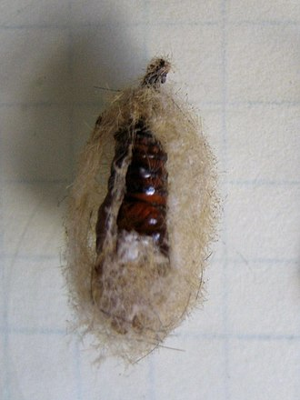 Western tussock moth - Empty O. vetusta cocoon, the pupal exuvia is clearly visible