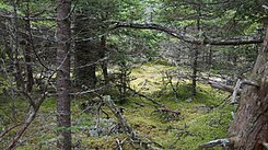 Wet forest as is, Isle au Haut.jpg
