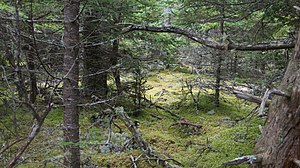 Isle au Haut, Maine - An island forest