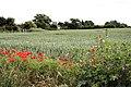 Wheat field at Fakenham Magna - geograph.org.uk - 1360759.jpg