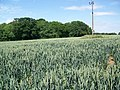 Wheat field near Grittleton - geograph.org.uk - 1381815.jpg