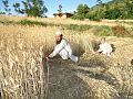 Wheat fields of swat.jpg