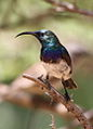 White-bellied Sunbird, Cinnyris talatala - male - at Marakele National Park, Limpopo, South Africa (15714801553).jpg