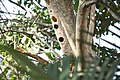 White-cheeked barbet nest holes.jpg
