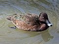 White-eyed Duck male 2014.jpg