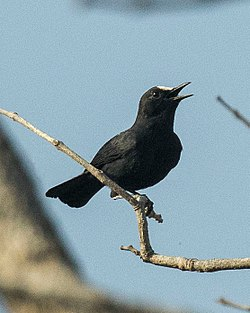 White-fronted Black-Chat - Gambia.jpg