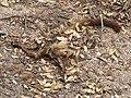 White-nosed Coati carcass Lower Miller Canyon Sierra Vista AZ 2018-07-31 09-46-44 (42884077445).jpg
