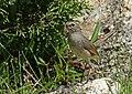 White-tailed Rubythroat (Luscinia pectoralis) (21923507129).jpg