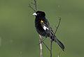 White-winged widowbird, Euplectes albonotatus, at Pilanesberg National Park, Northwest Province, South Africa (16726284623).jpg
