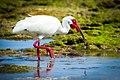 White Ibis (2).jpg
