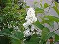 White Jasmine.jpg