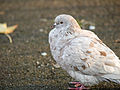 White pigeon (11162295553).jpg