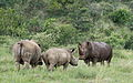 White rhinoceros or square-lipped rhinoceros, Ceratotherium simum. Note that in some of these photos there are a female with a calf, and a male that seems to have been challenging the calf. (17152006498).jpg