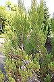 Widdringtonia nodiflora - Mendocino Coast Botanical Gardens - DSC02054.JPG