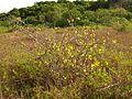 Wild Cotton - Flickr - treegrow (13).jpg