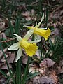 Wild daffodils in Dunsford Wood - geograph.org.uk - 363626.jpg